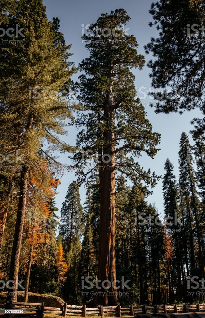 Giant sequoia in the Sequoia National Park, California. Natural landmark of the USA stock photo