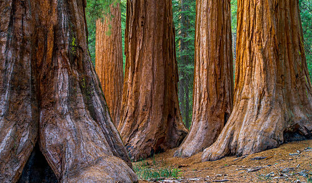 Giant Sequoia, Mariposa Grove Trees Bachelor and Three Graces group in the Mariposa Grove, Yosemite National Park, California redwood tree stock pictures, royalty-free photos & images