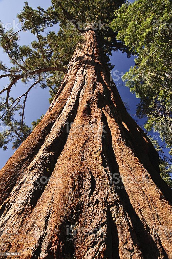Giant Sequoia royalty-free stock photo