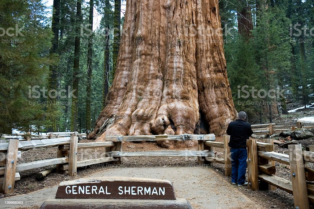 Giant Sequoia tree and landmark dedicated to General Sherman royalty-free stock photo