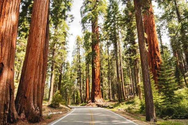 giant sequoia boom - nationaal park stockfoto's en -beelden