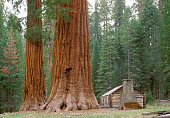 Giant Sequoias Redwood. Ancient Forest of Sierra Nevada Mountains. United States of America.