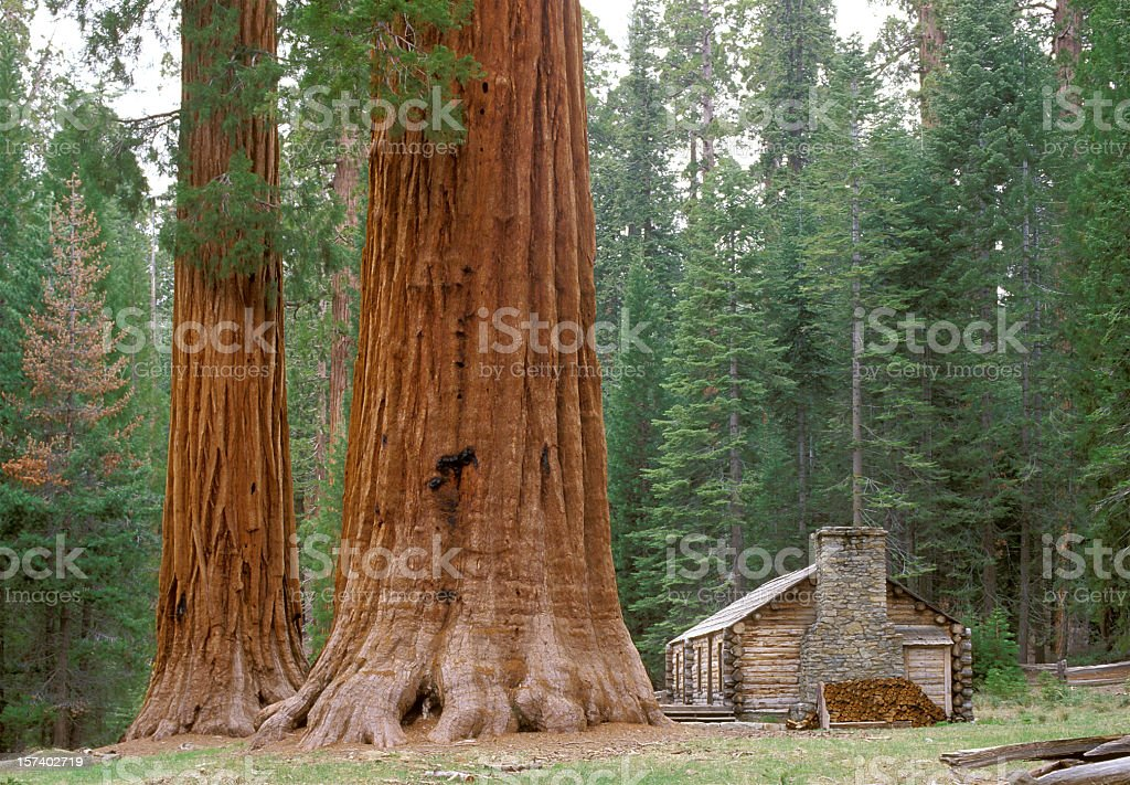 Giant Sequoia Trees and Log Cabin stock photo