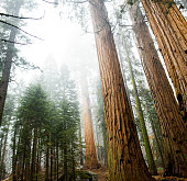 Massive Giant Sequoia  trees in the early morning fog in Kings Canyon National Park.