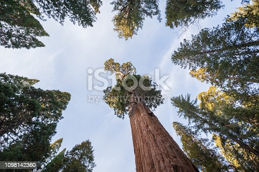 Giant Sequoia trees in Kings Canyon National Park California, USA