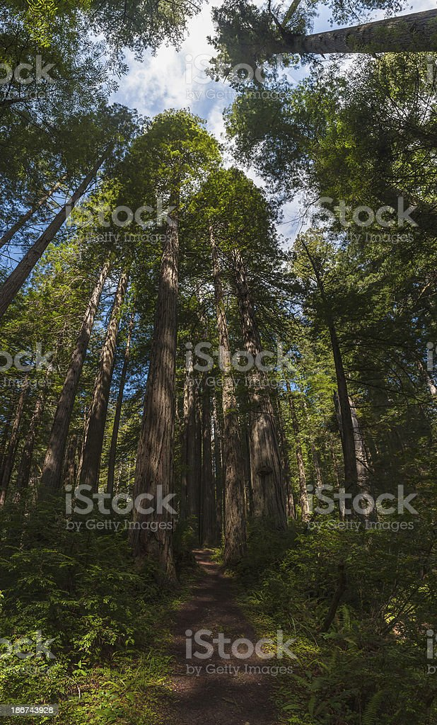 Giant Sequoia trees in Redwood National Park forest California USA stock photo