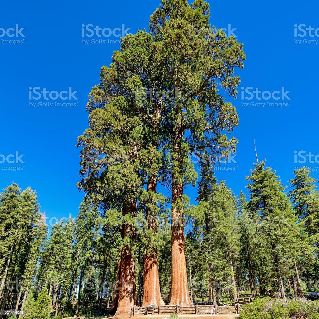 Giant sequoia trees in Sequoia National Park, California stock photo