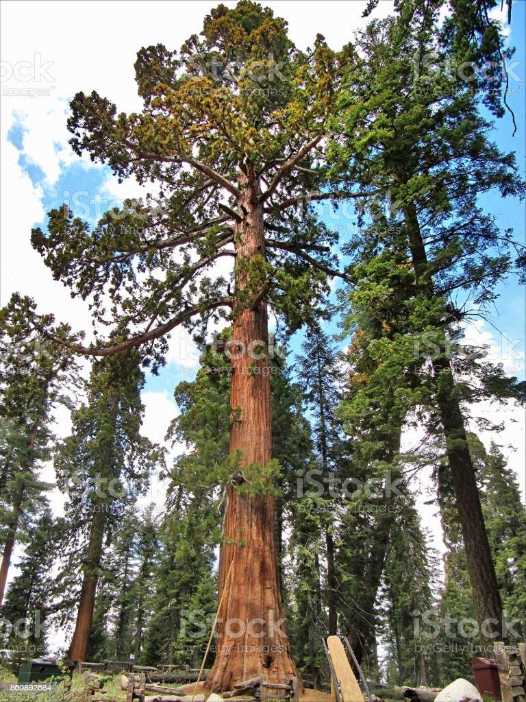 Giant sequoia trees in Sequoia National Park - California stock photo