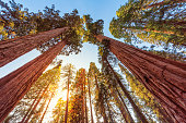Sunset view of famous giant sequoia trees, also known as giant redwoods or Sierra redwoods, on a beautiful sunny day with green meadows in summer, Sequoia National Park, Sierra Nevada Mountains, California, USA