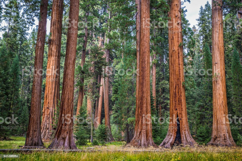 Giant sequoia trees in Sequoia National Park, California, USA royalty-free stock photo