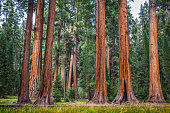 Classic view of famous giant sequoia trees, also known as giant redwoods or Sierra redwoods, on a beautiful sunny day with green meadows  in summer, Sequoia National Park, California, USA