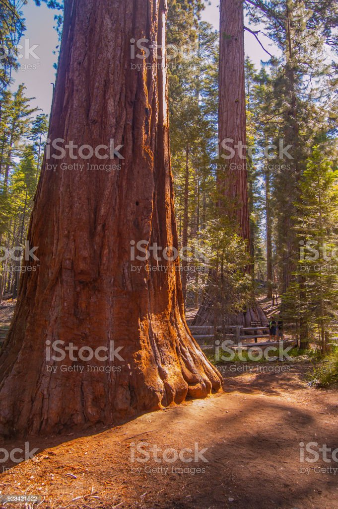 Giant Sequoia trees in the Yosemite forest stock photo