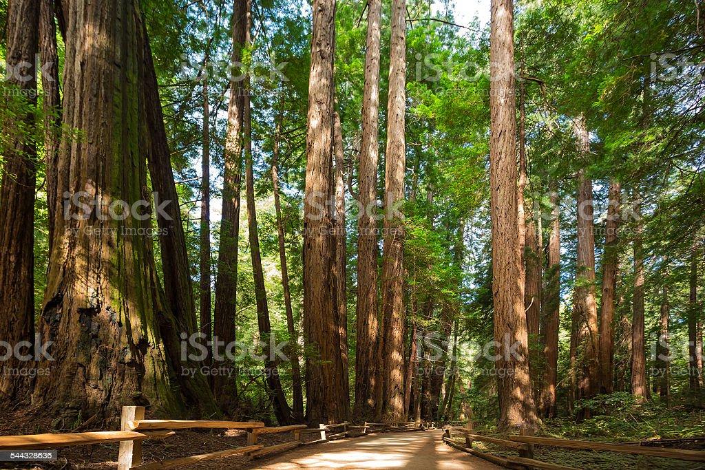 Giant sequoia trees stock photo