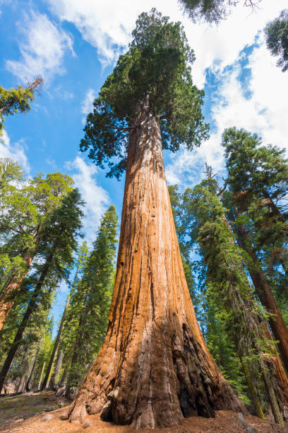 Giant Sequoia trees Giant Sequoia trees (sequoiadendron giganteum) in Sequoia National Park, California, USA redwood tree stock pictures, royalty-free photos & images