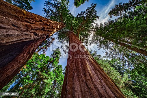 Looking up in a grove of Giant Sequoia Trees, in Sequoia National Park, California, USA