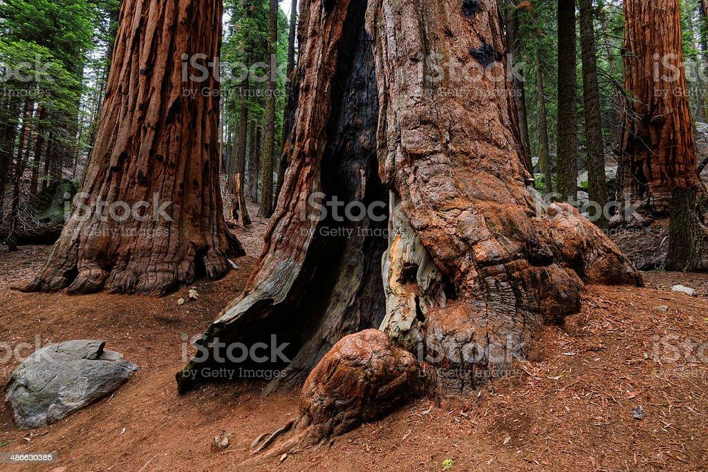 Giant Sequoia Trees, Sequoia National Park stock photo