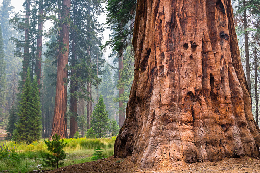 Giant Sequoia trees, Yosemite National Park