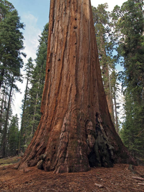 Giant Sequoia vertical Giant Sequoia (Sequoiadendron giganteum) at General Grant Grove, Kings Canyon National Park, California, USA redwood tree stock pictures, royalty-free photos & images