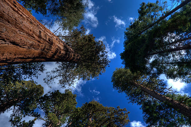 Giant Sequoias - 2 stock photo