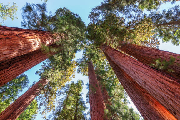 Giant Sequoias in Sequoia National Park. stock photo