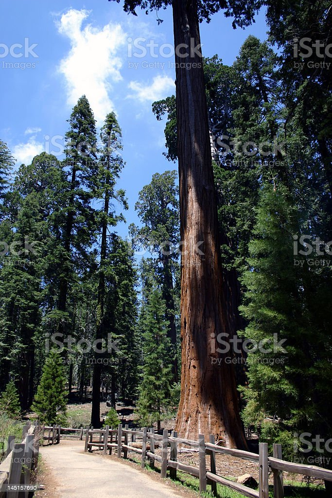 Giant Sequoias royalty-free stock photo