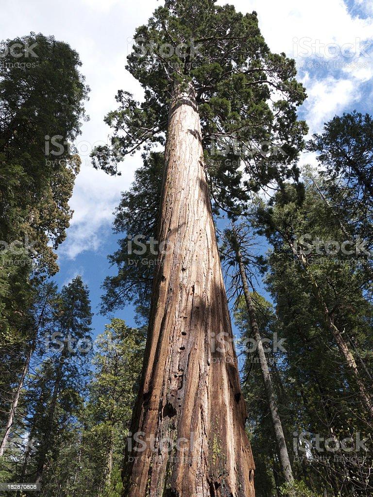 Giant Sequoias stock photo