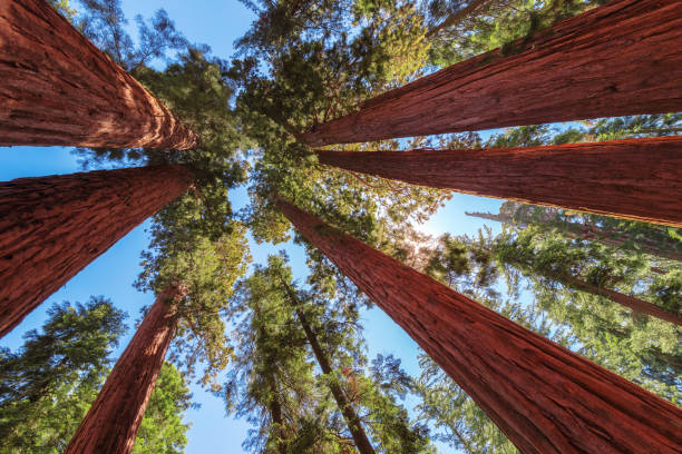 Giant Sequoias trees at sunset. stock photo