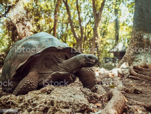 Giant seychelles turtle in the park on the island of prison zanzibar picture id1026104302?b=1&k=6&m=1026104302&s=612x612&h=cxuc2fva9qfjqeimdyrbagnjt2 ql0lfdot8lqsn0dm=