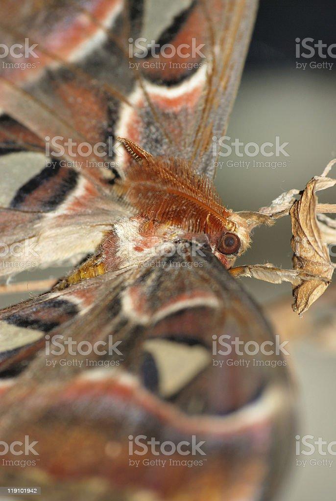 giant silkworm moth Attacus atlas royalty-free stock photo
