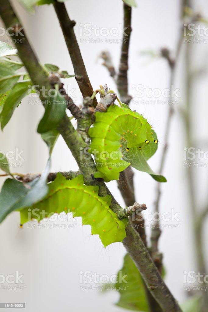 Giant Silkworm Moth Caterpillar stock photo