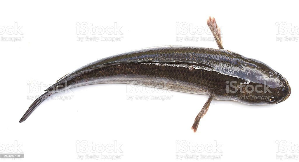 Giant snakehead fish on white background stock photo