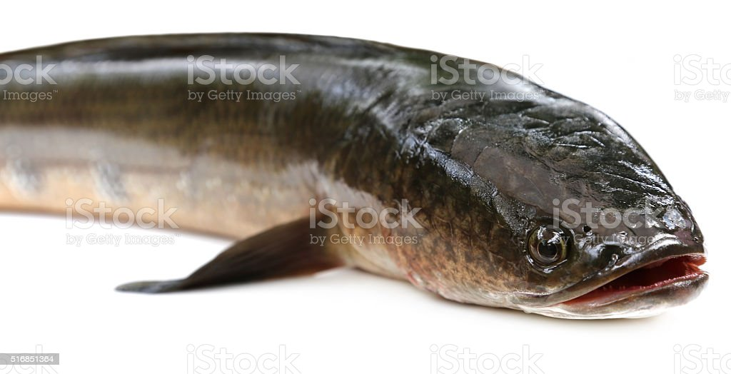 Giant Snakehead known as gozar fish in Bangladesh stock photo