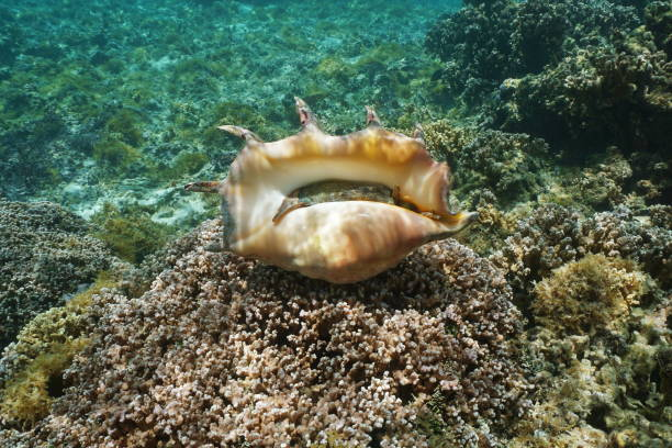 Giant spider conch shell alive specimen underwater Bottom part of a giant spider conch shell, Lambis truncata, marine gastropod mollusk underwater, alive specimen, Pacific ocean, Huahine lagoon, French Polynesia mollusk stock pictures, royalty-free photos & images