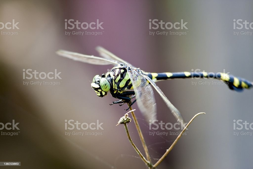 Giant Spiketail royalty-free stock photo
