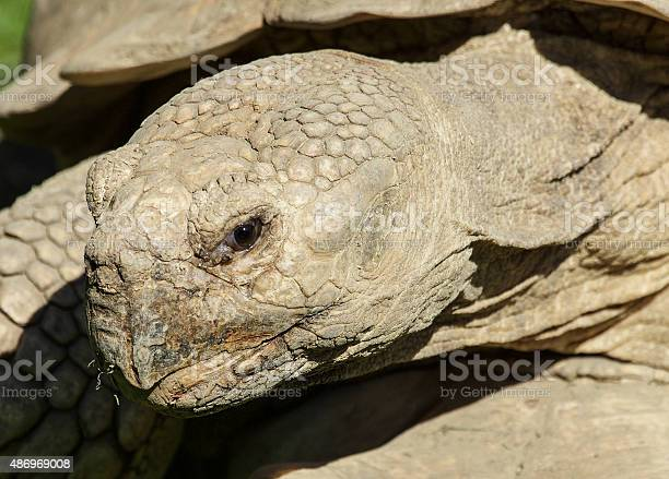 Giant spurred tortoises picture id486969008?b=1&k=6&m=486969008&s=612x612&h=snnmvcirsyja wga6ao2qq0fxevuqvwcfe23grk2cig=