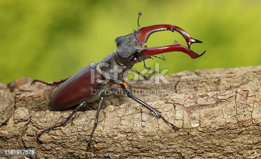 Macro of stag beetle (Lucanus cervus) with big red horns ready to attack on tree over green forest background