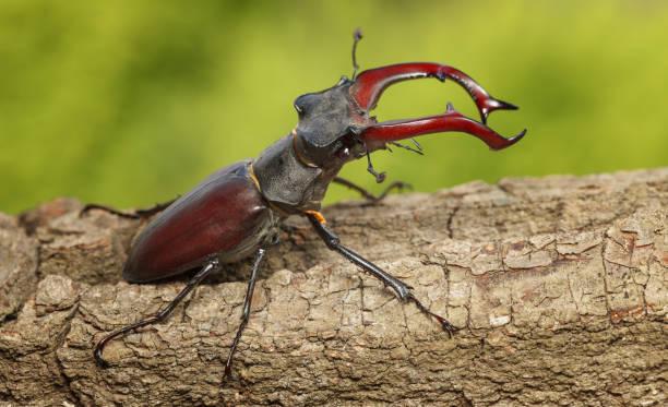 Giant Stage Beetle attitude of combat stock photo