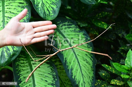 A stick bug attaches itself to a human hand showing off its size.
