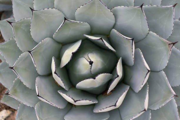 Giant succulent close-up photo for trendy wallpaper or background. stock photo