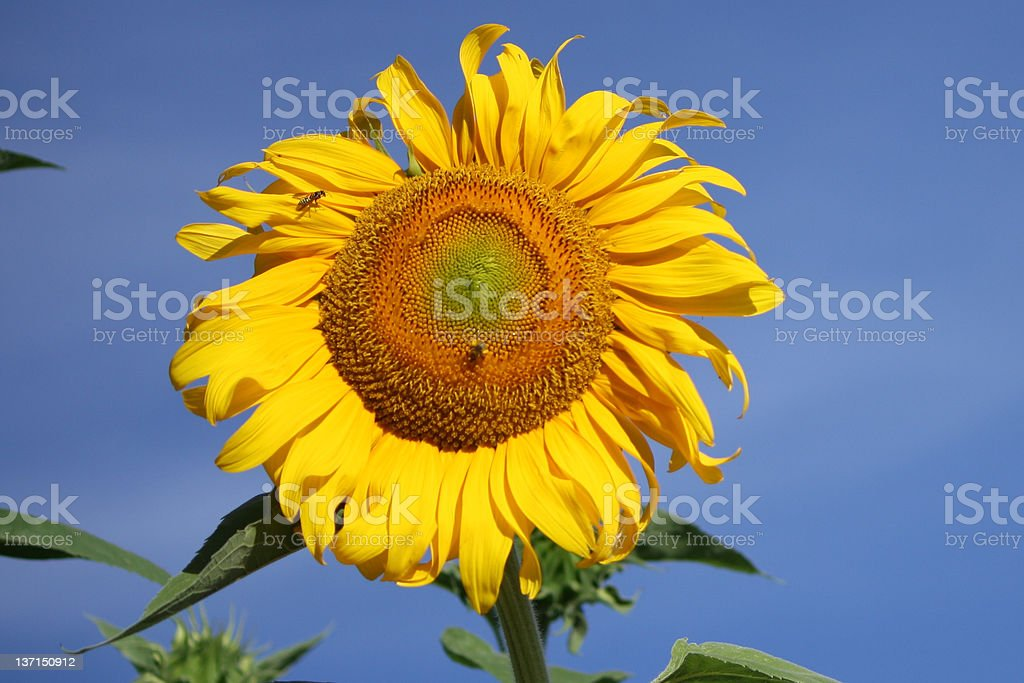 Giant Sunflower stock photo