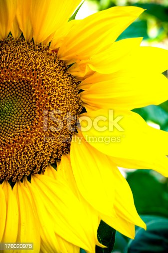 Close-up of a giant sunflower in full bloom.