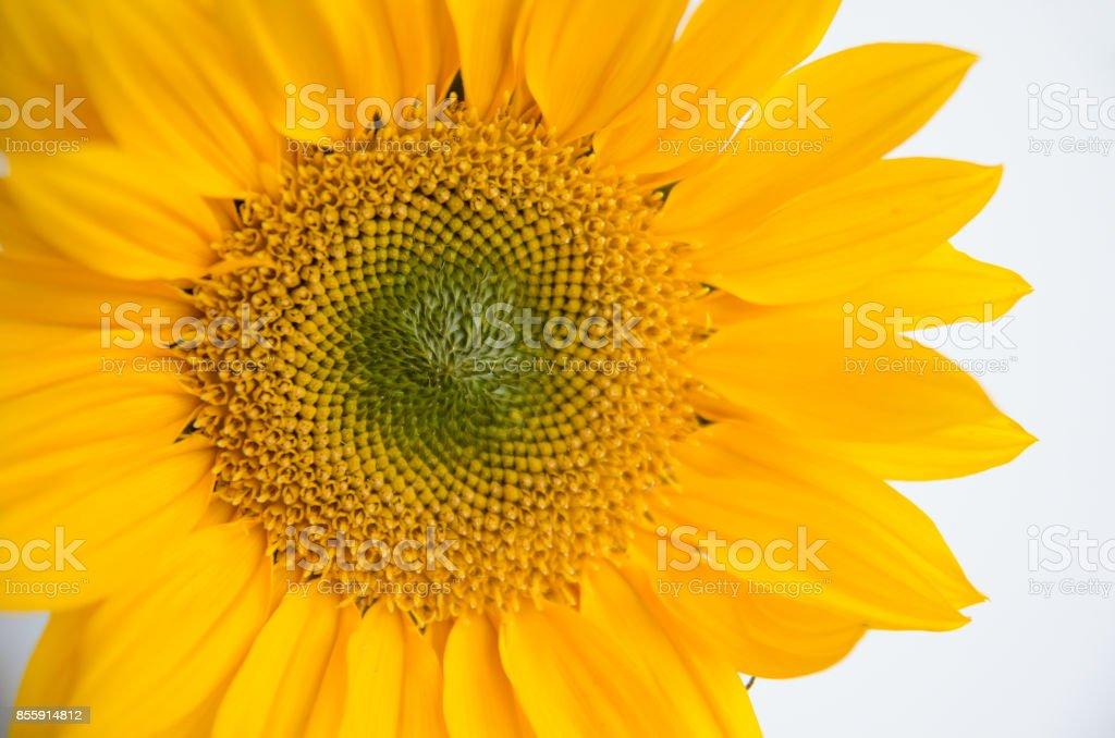 Giant Sunflower stock photo