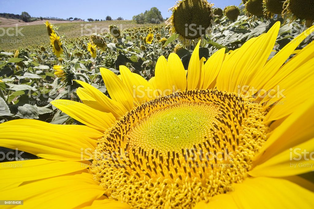 giant sunflower royalty-free stock photo
