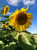 A group of giant sunflower Helianthus giganteus in the sun. Vibrant yellow again the blue sky