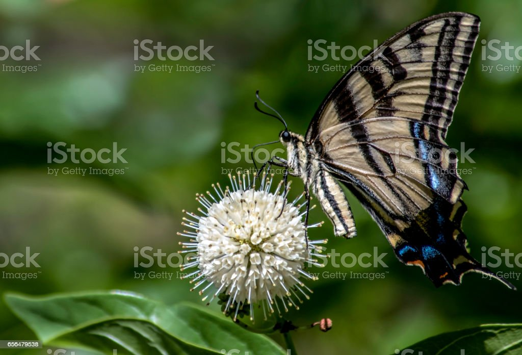 Giant Swallowtail Butterfly Drinking Nectar from Round Flower stock photo
