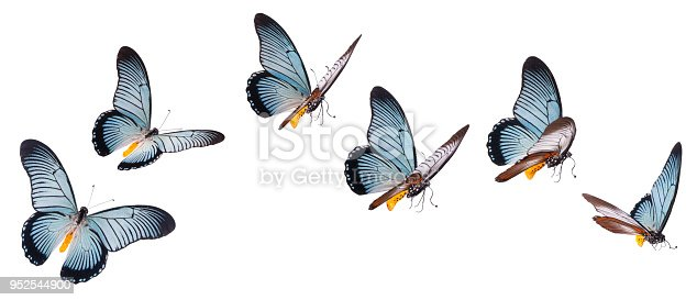 istock Giant swallowtail butterfly isolated on white 952544900