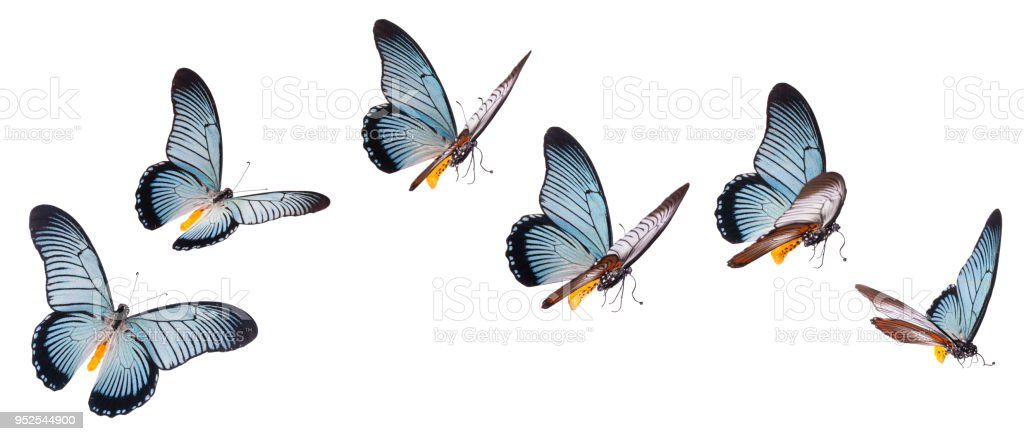 Giant swallowtail butterfly isolated on white - fotografia de stock