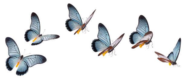 Mariposa cola de golondrina gigante aislado en blanco - foto de stock