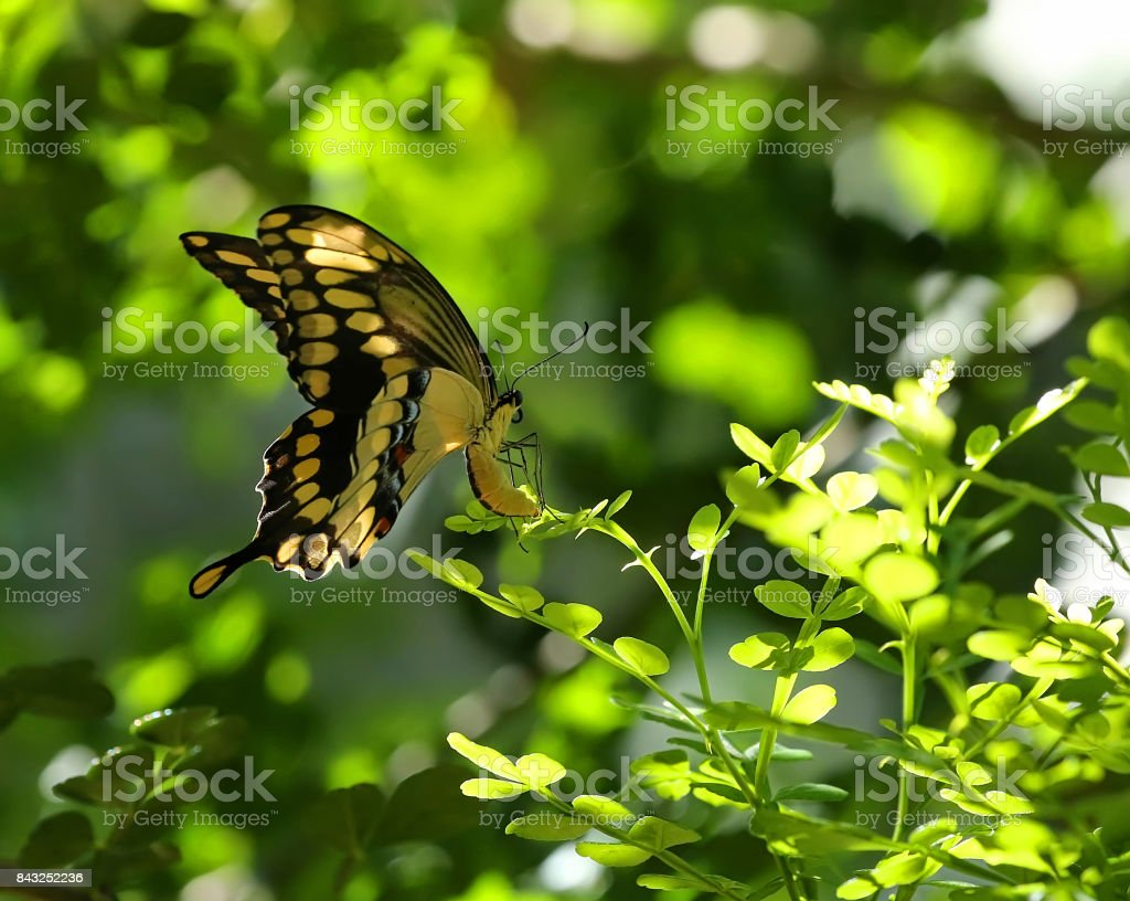 Giant Swallowtail butterfly laying eggs stock photo