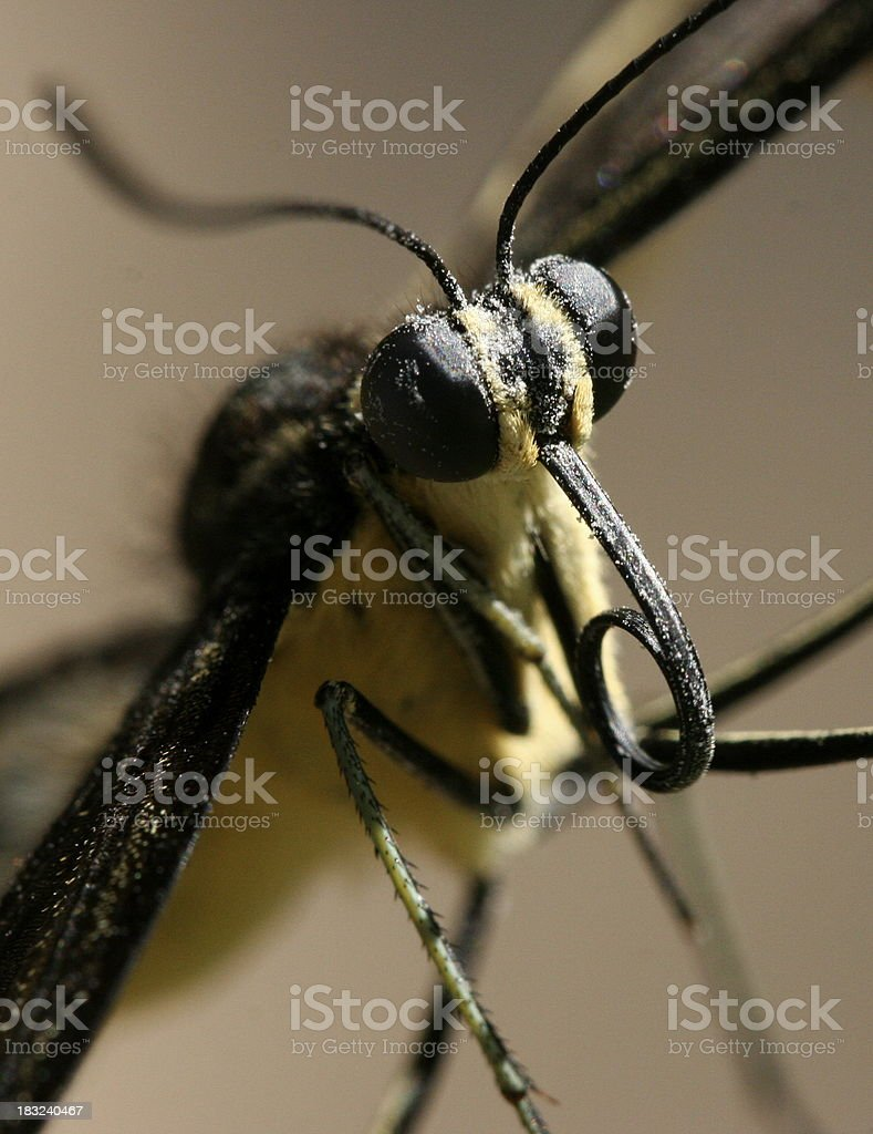 Giant Swallowtail Butterfly (Papilio cresphontes) stock photo
